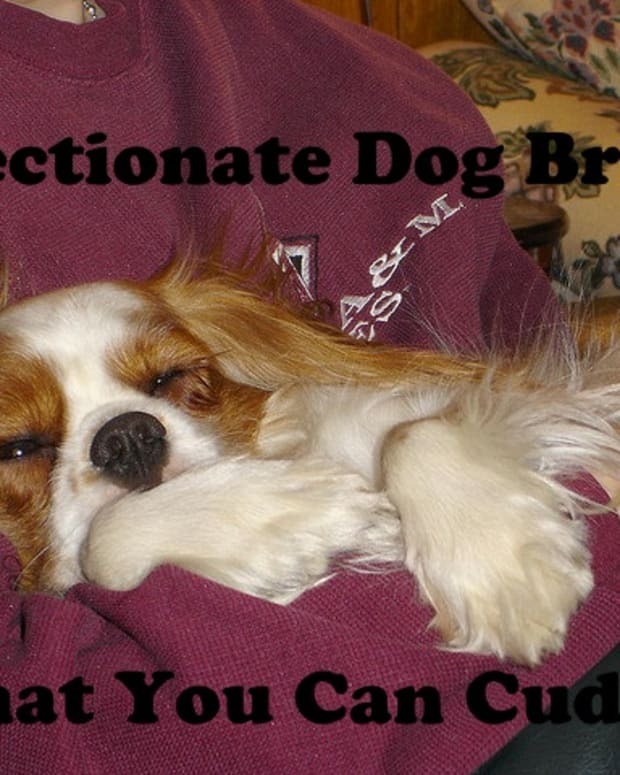 affectionate-dog-breeds