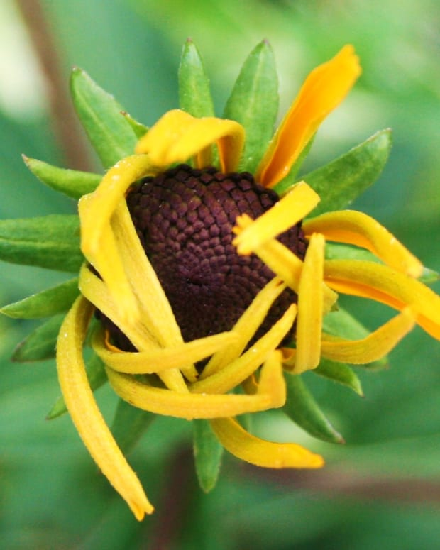 preventing-black-eyed-susan-diseases-naturally