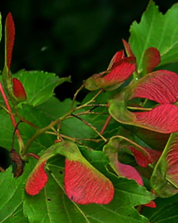 growing-amur-maple-acer-ginnala
