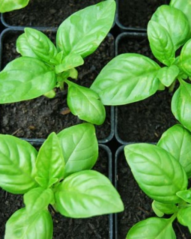 sweet-basil-herb-sabja-or-tukmaria-seeds-and-their-health-benefits