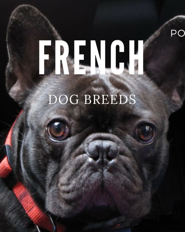 dog-breeds-from-france