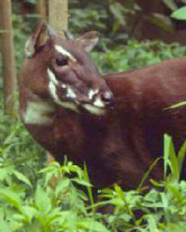 saola-a-critically-endangered-species