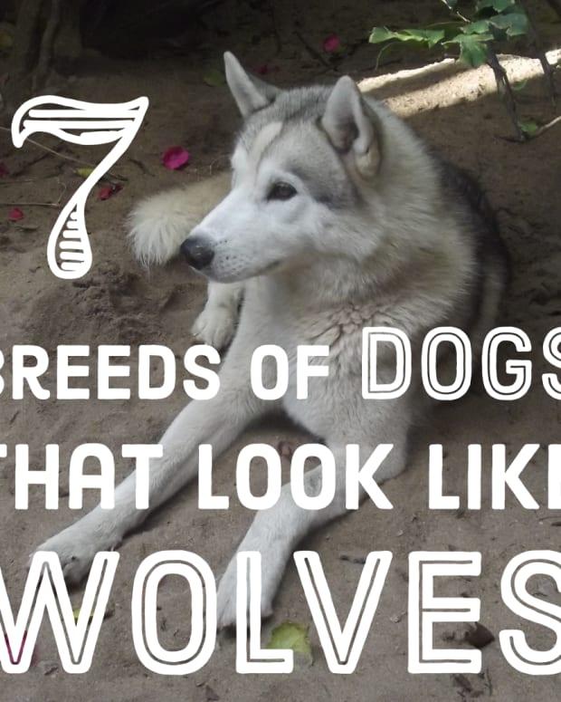dog-breeds-like-wolves