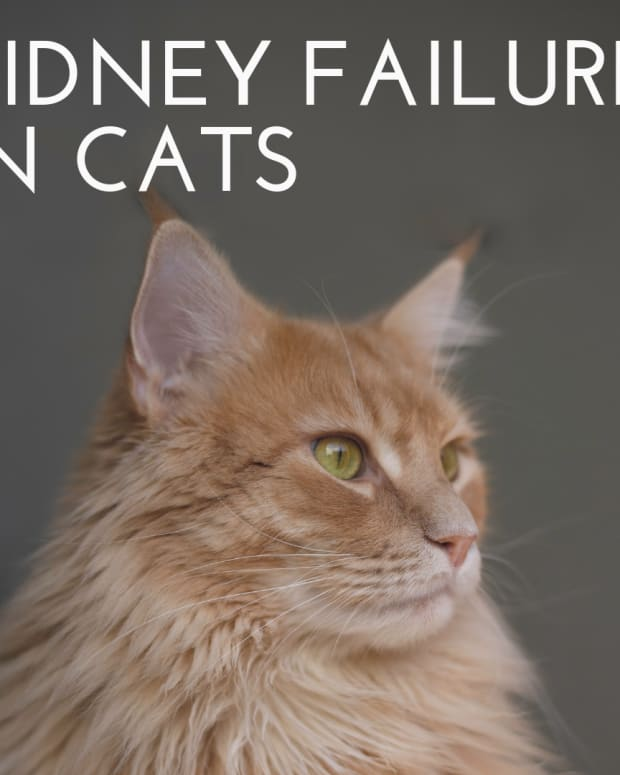 taking-care-of-a-cat-with-kidney-failure