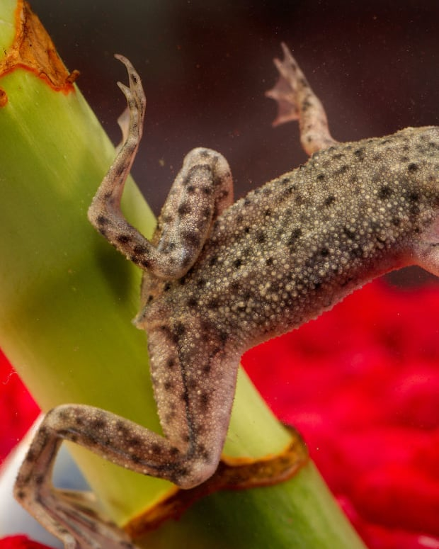 signs-that-your-african-dwarf-frog-is-dying