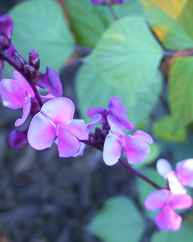 hyacinth-bean-vine