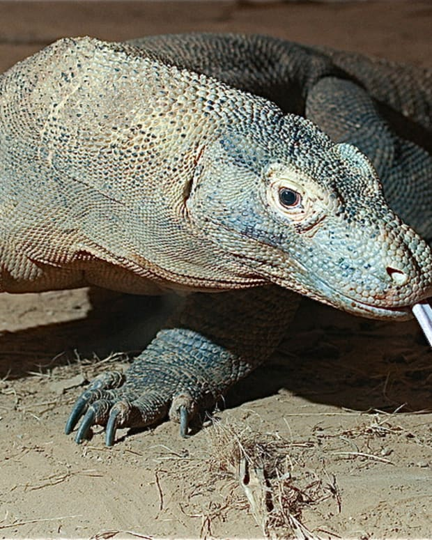 komodo-bearded-and-frilled-dragons-surprising-facts