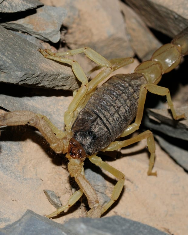 the-most-dangerous-scorpions-in-the-world