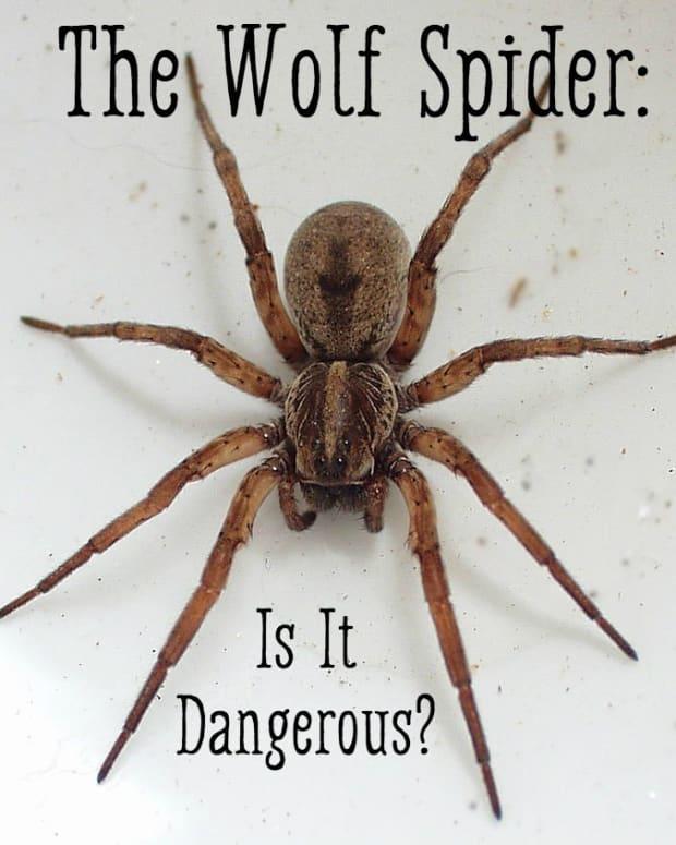 wolf-spider-bite