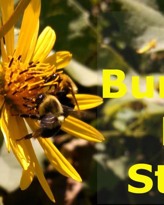 bumblebee-sting-how-much-does-it-hurt
