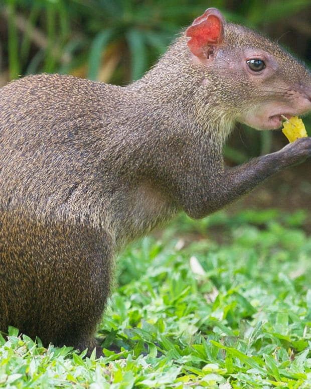 rodents-of-south-america-the-agouti-and-the-paca