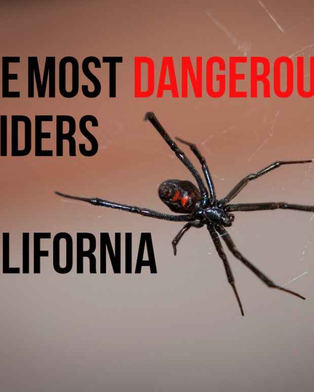 the-most-poisonous-spider-in-california