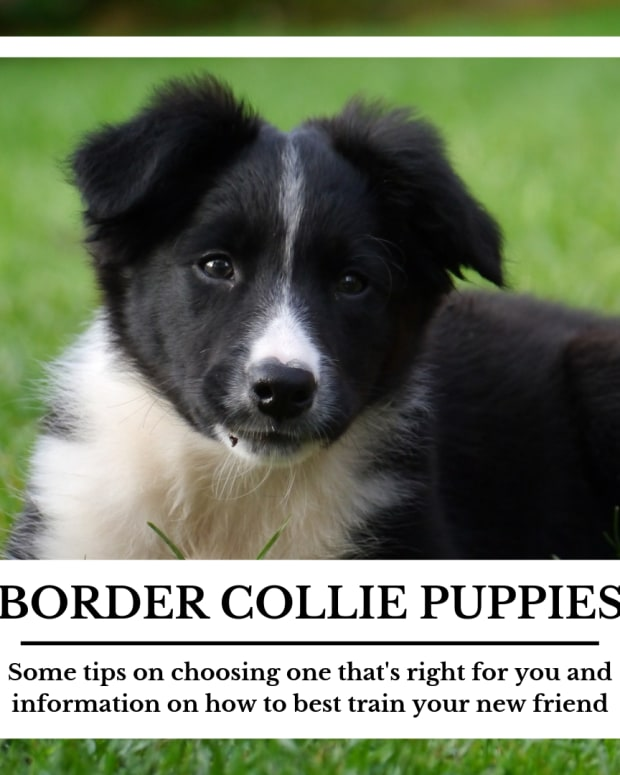 selecting-and-training-a-border-collie-puppy