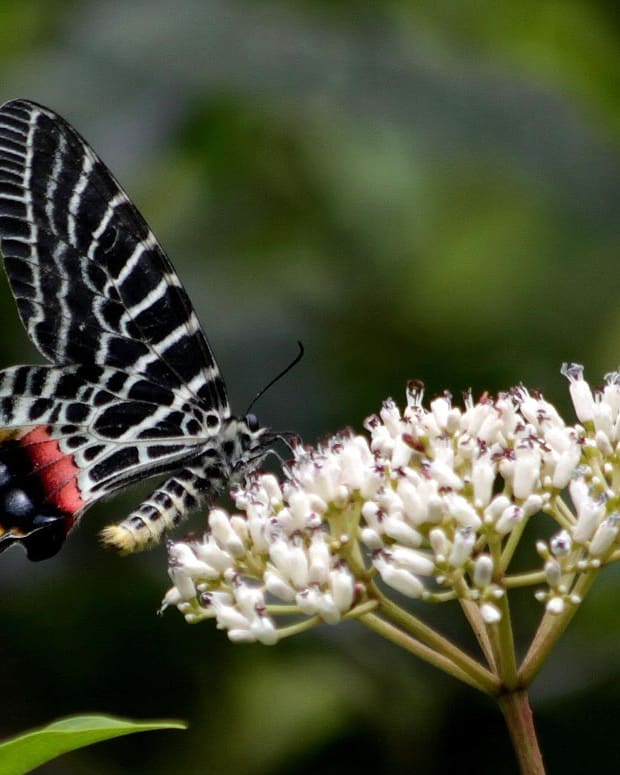 top-10-rare-or-endangered-butterflies