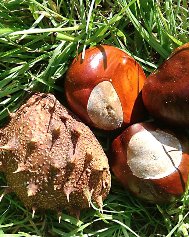 the-horse-chestnut-tree-and-conkers-fun-and-surprising-facts