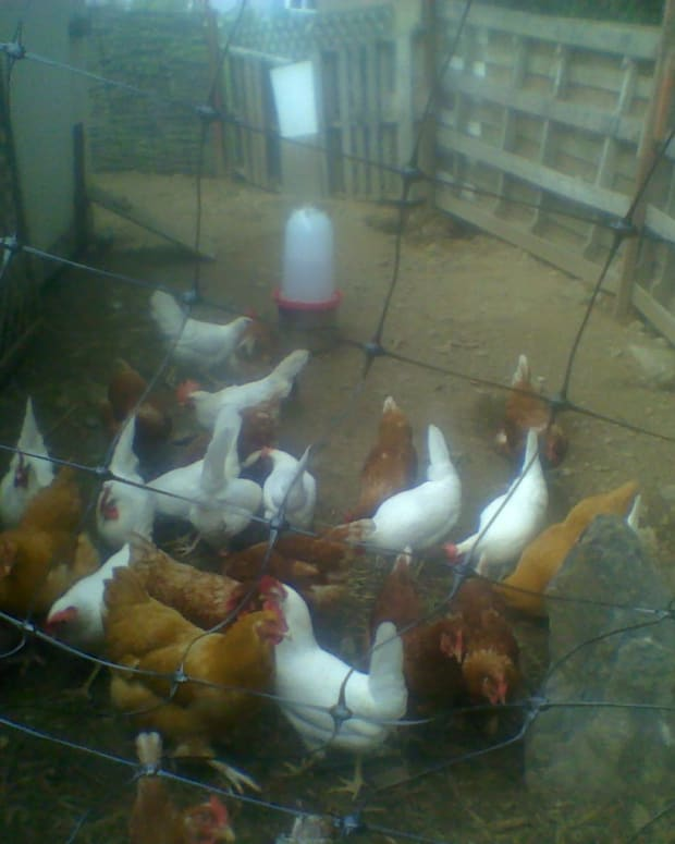 raising-chickens-in-a-21st-century-ecovillage
