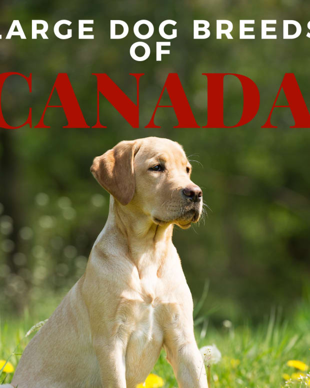 large-dog-breeds-from-canada