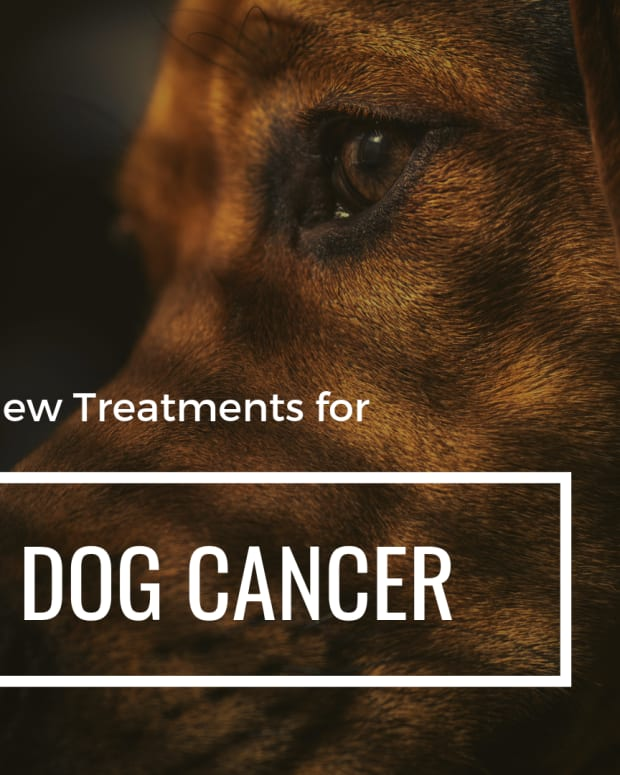 canine-cancer-new-holistic-treatment-that-prolongs-life-for-dogs-with-hemangiosarcoma