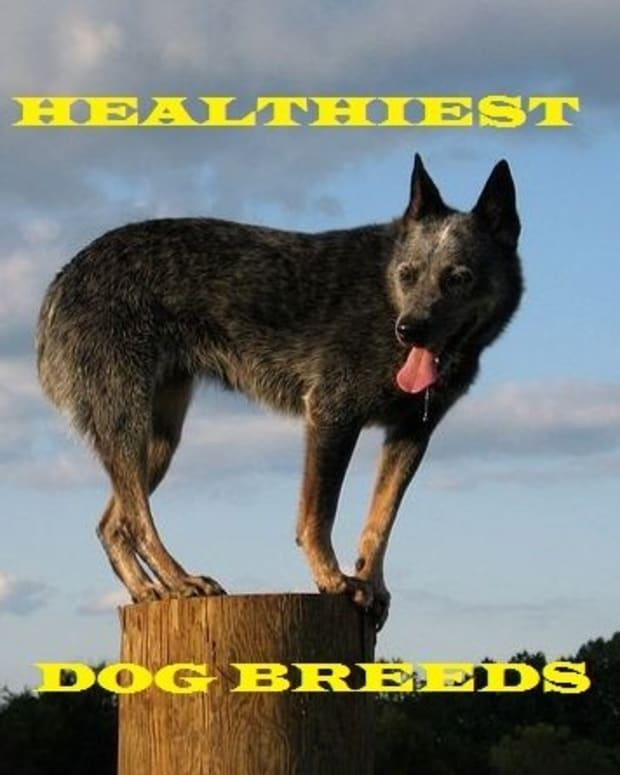 healthiest-dog-breeds