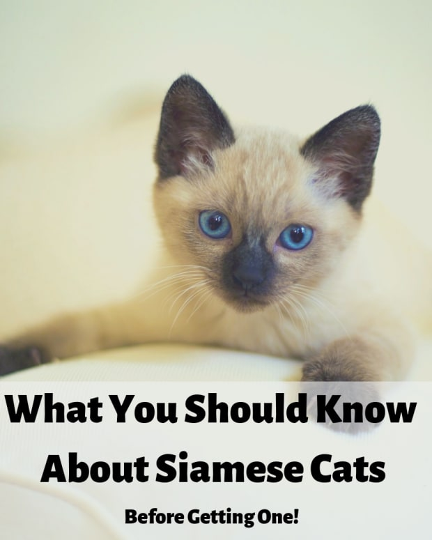 5-things-about-siamese-cats-you-need-to-know