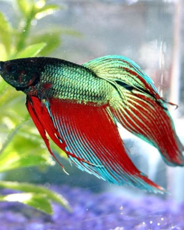 all-about-betta-fish