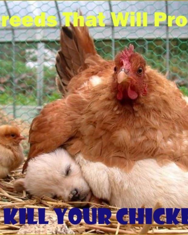 dog-kill-chickens