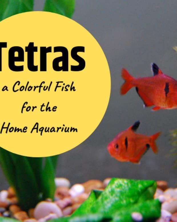 popular-home-aquarium-fish-tetras