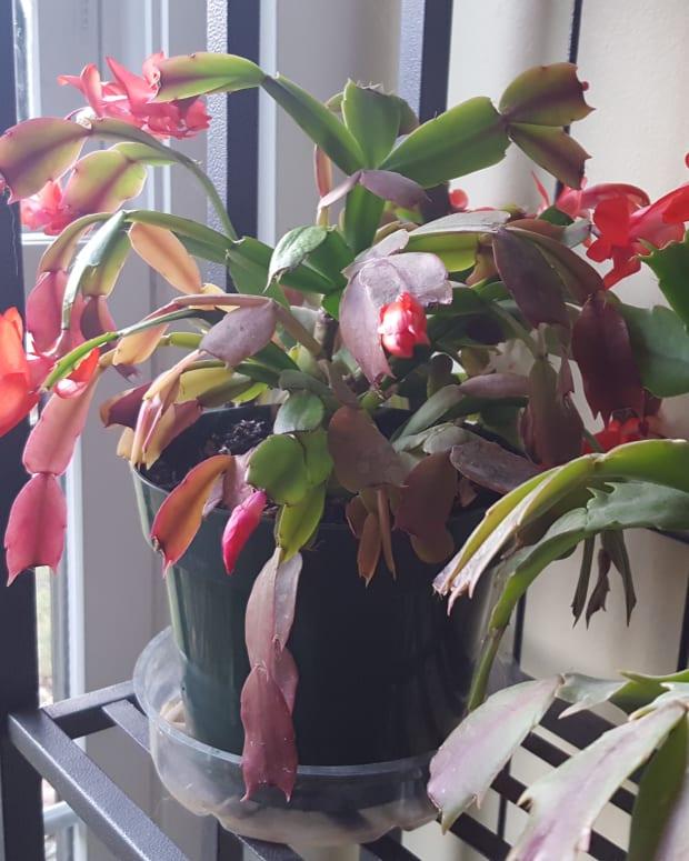 how-to-grow-christmas-cactus