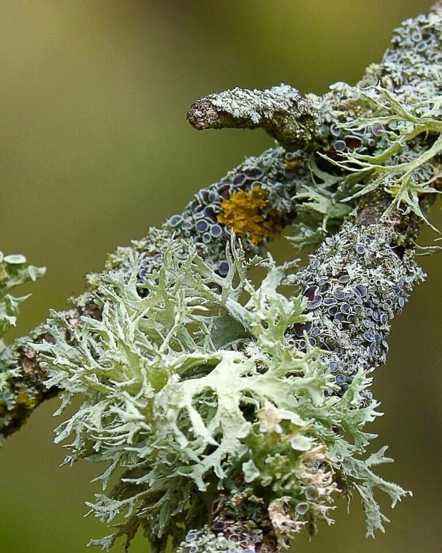 lichens-and-people-surprising-interesting-and-helpful-uses