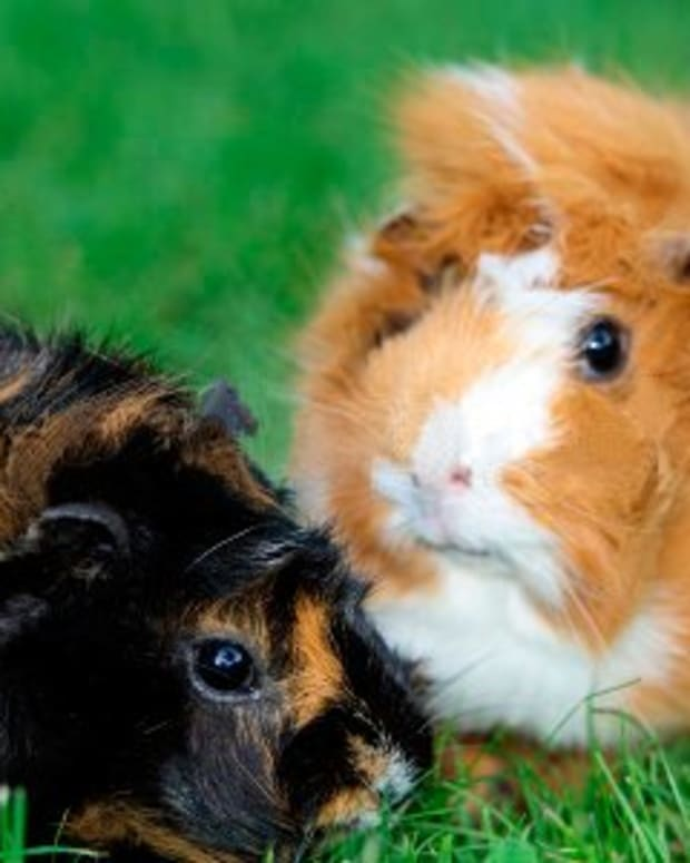 the-abyssinian-guinea-pig
