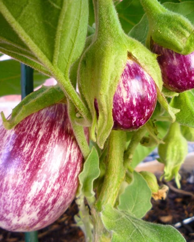 how-to-grow-eggplant-in-containers