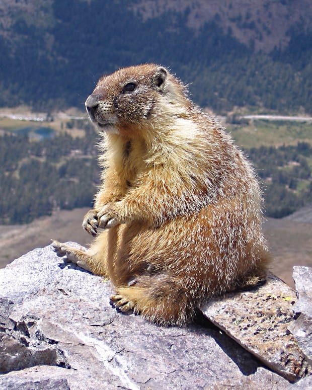 the-hoary-and-vancouver-island-marmots-in-british-columbia