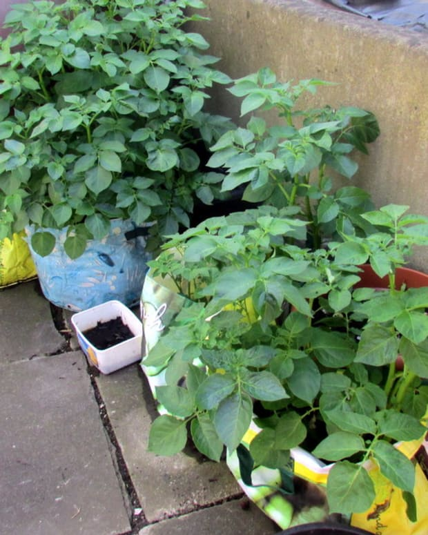how-to-grow-potatoes-in-containers-and-pots-in-a-small-garden-potato-recipes-gardening-tips-advice