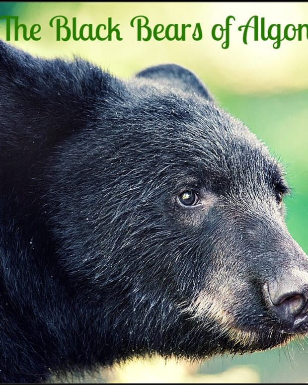 the-black-bears-of-algonquin-park