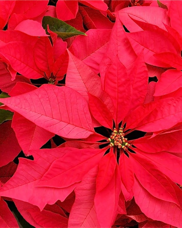 christmas-plants-safe-and-poisonous
