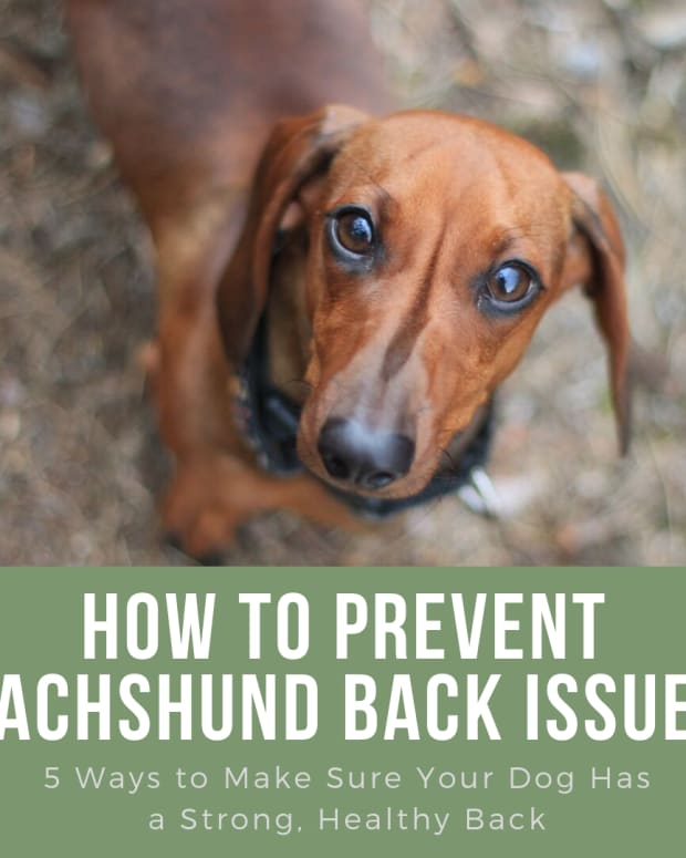 how-to-prevent-back-problems-in-dachshunds