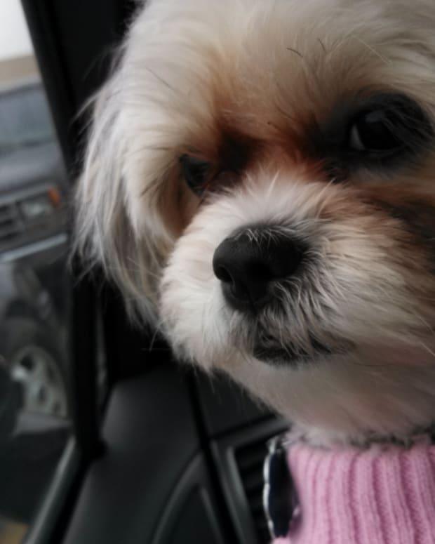 maltese-x-shih-tzu-malshi-best-dog-ever