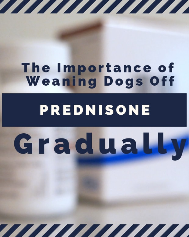 the-importance-of-weaning-dogs-off-prednisone