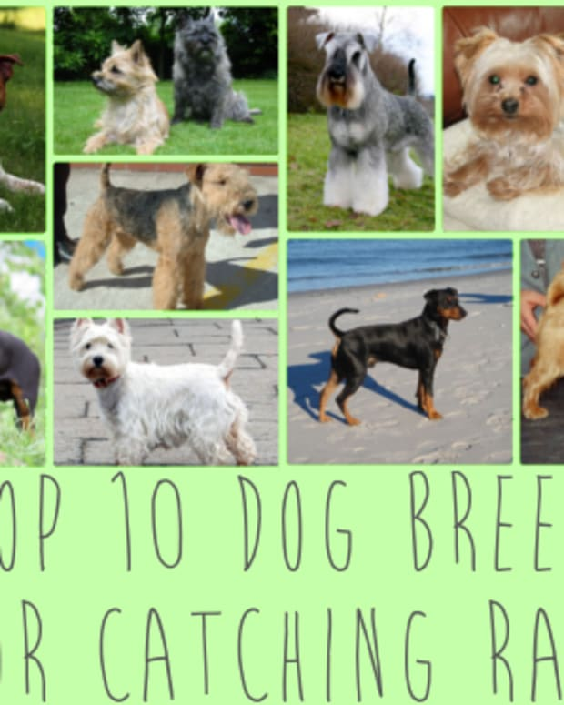 top-10-dog-breeds-ideal-for-catching-rats