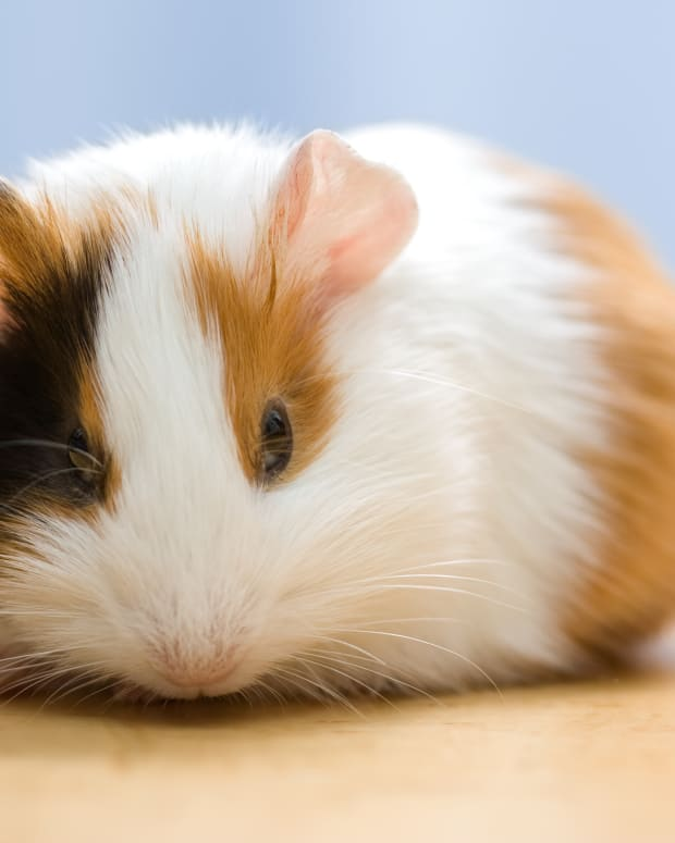guinea-pig-name-ideas