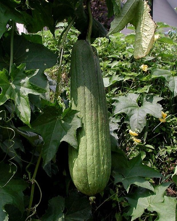 how-to-grow-luffa