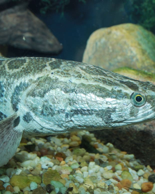 snakehead-fish-invasive-and-voracious-predators