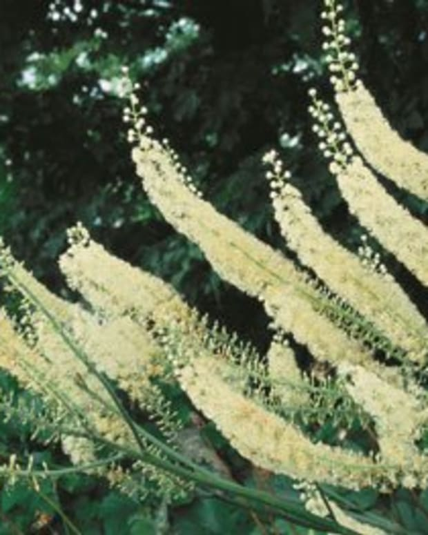 black-cohosh-benefits-uses-side-effects-and-recommended-dosage-where-to-buy-black-cohosh