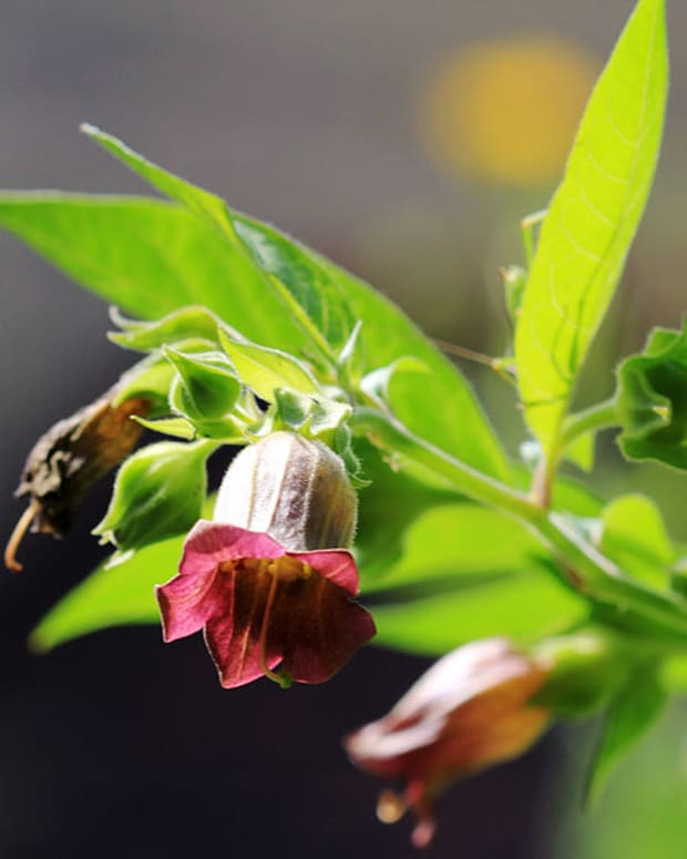 lessons-in-magical-herbalism-belladonna-deadly-nightshade