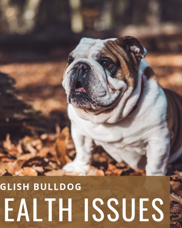 raising-awareness-about-english-bulldog-health-problems