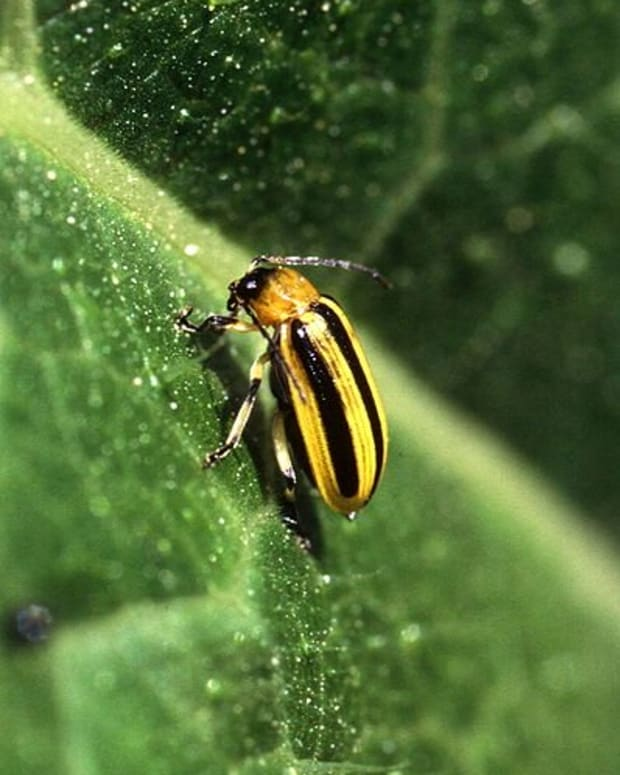 how-to-rid-your-garden-of-cucumber-beetles
