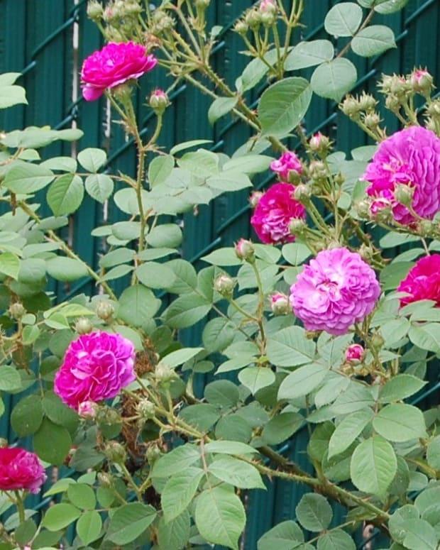 heirloom-roses-seven-sisters-rose
