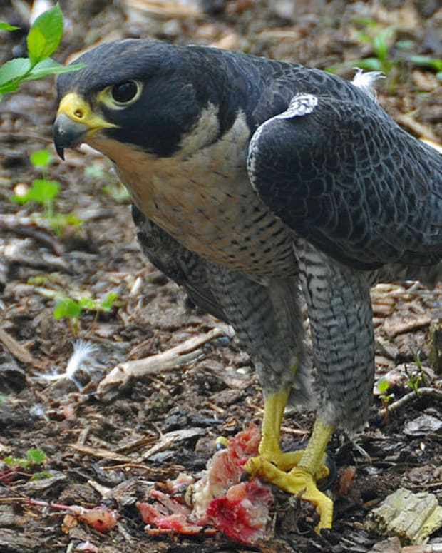 the-peregrine-falcon-the-fastest-animal-in-the-world