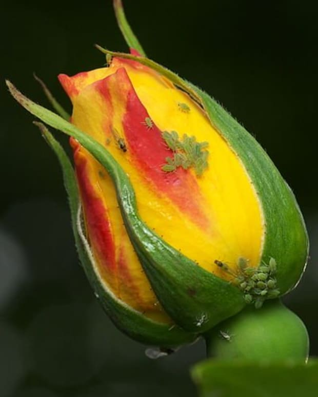 how-to-rid-your-roses-of-aphids
