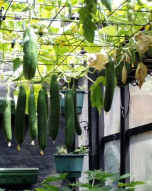 growing-cucumbers-everything-about-growing-cucumbers